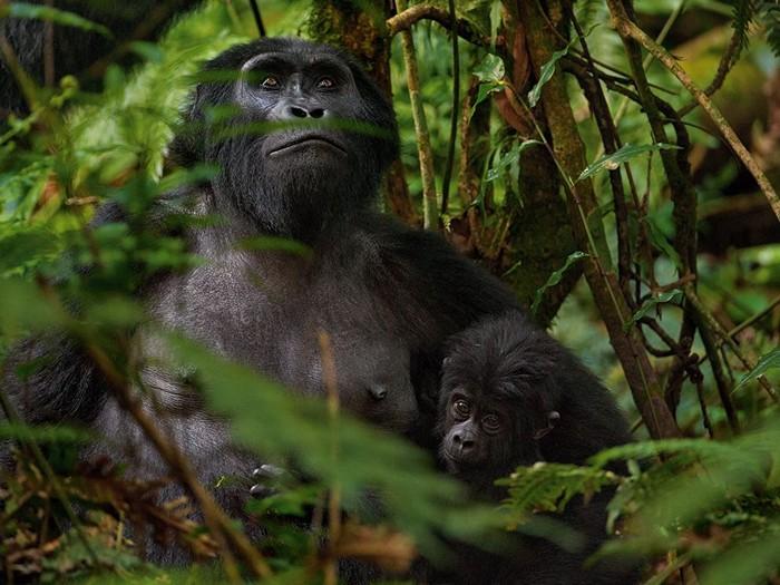 Mountain Gorillas, Africa
