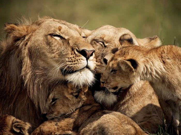 Lions and Cubs, Kenya