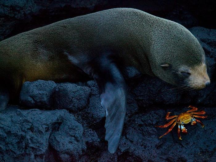 Seal and Crab, Galpagos