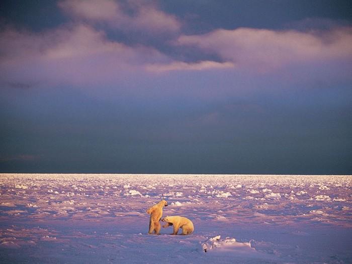 Sparring Polar Bears, Svalbard