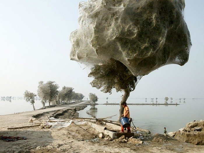 Cocooned Trees, Pakistan