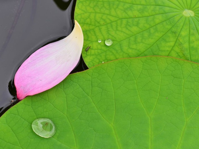 Lotus Leaf, Japan