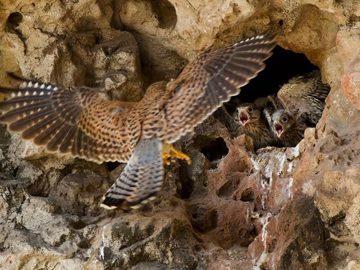 Falcons, Socotra