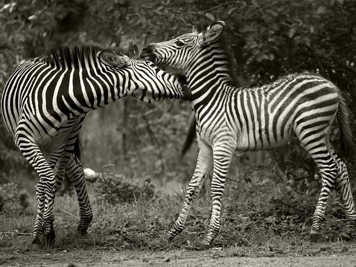 Zebras, Zambia