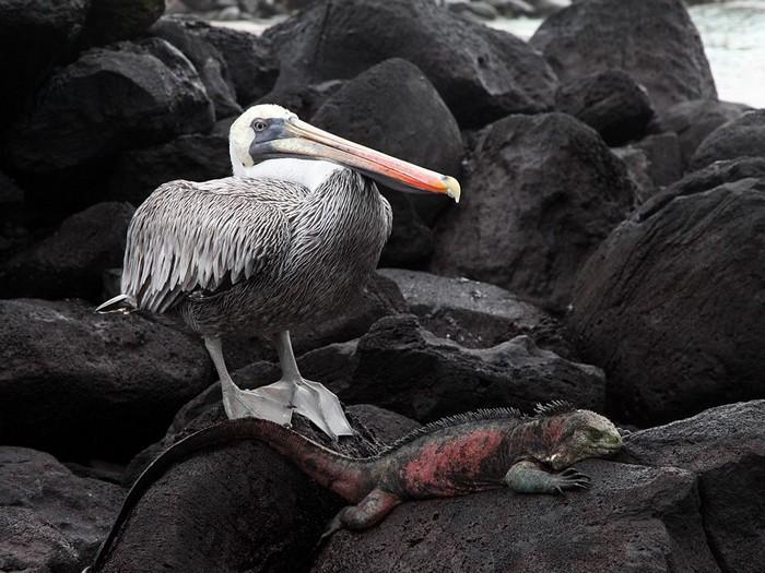 Pelican and Iguana, Galpagos