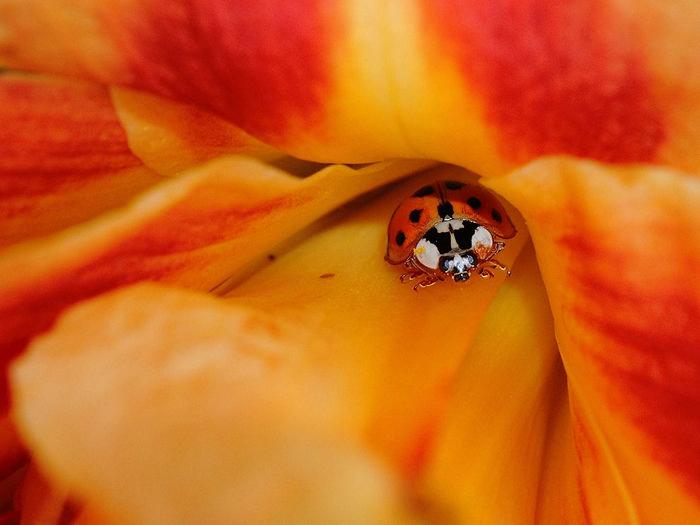 Ladybug and Daylily