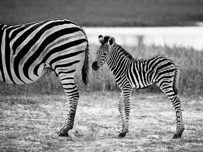 Zebra and Foal, Botswana
