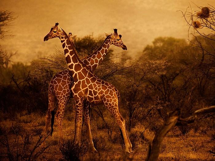 Giraffes, Kenya