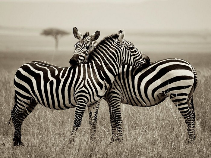 Zebra Pair, Kenya