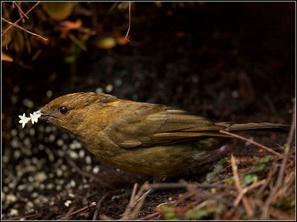 Bowerbird, Papua New Guinea
