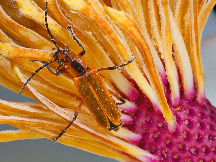 Soldier Beetle and Magnolia