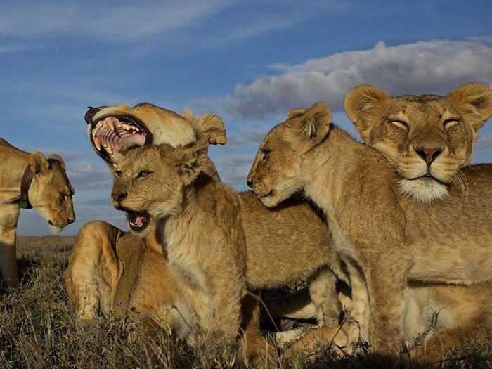 Lion Pride, Serengeti