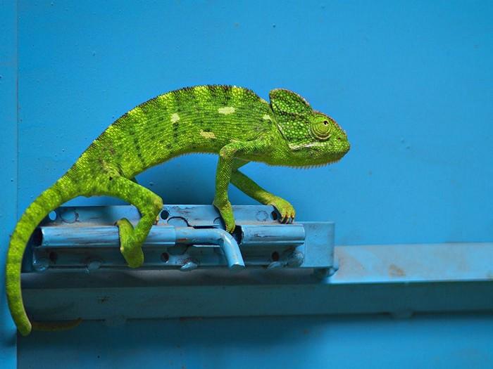 Chameleon, India