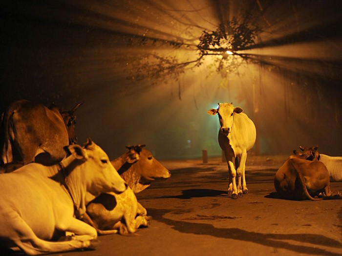 Cows, India