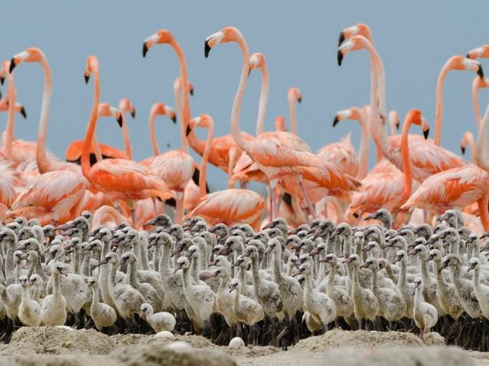 Flamingo Chicks, Mexico