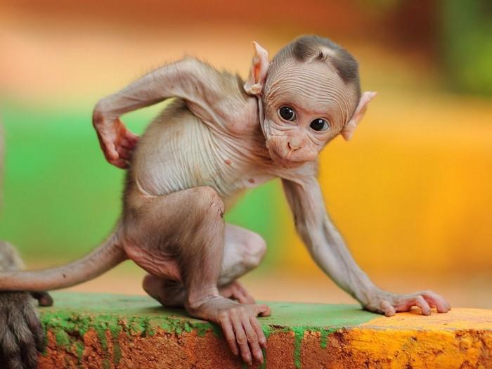 Baby Macaque, India