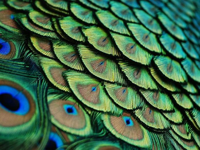 Peacock, Florida