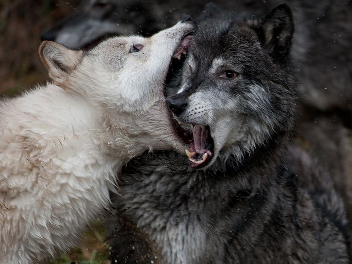 Sparring Wolves