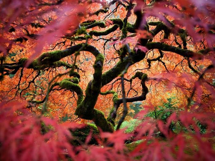 Japanese Maple, Oregon