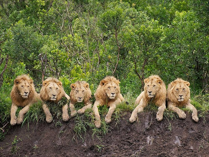 Resting Lions, Tanzania