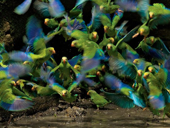 Parakeets, Ecuador