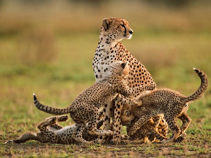 Cheetah Mother and Cubs, Tanzania