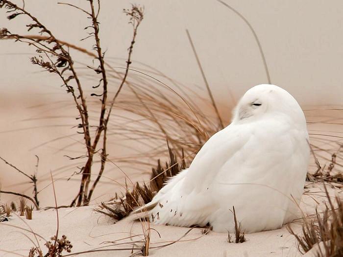 Snowy Owl, Long Island
