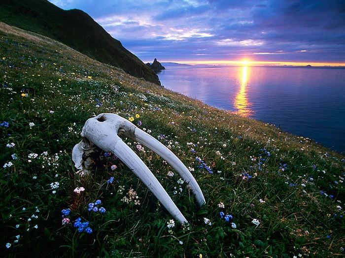 Walrus Skull, Bristol Bay
