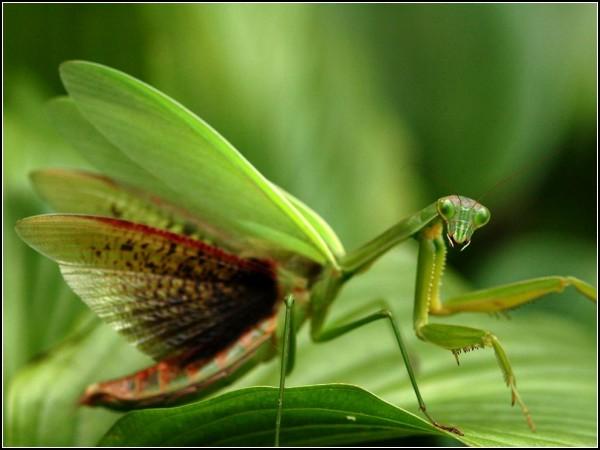 Praying Mantis, Virginia