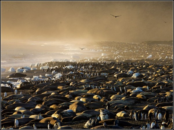 Elephant Seals and King Penguins