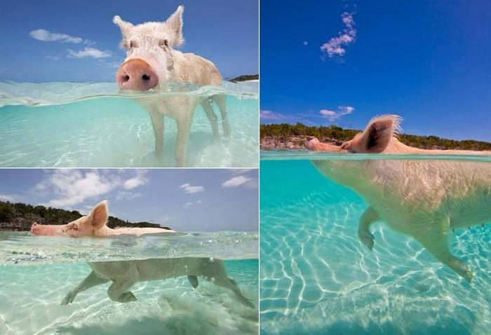 Единственный в мире поросячий курорт на Big Major Cay