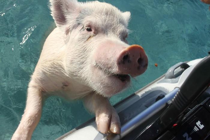 Свинки, которые любят купаться и общаться
