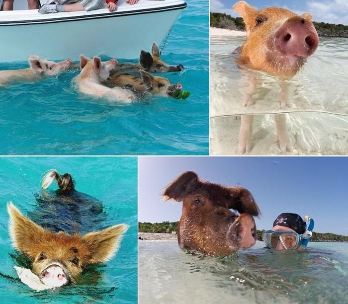 Остров Big Major Cay, единственный курорт для свинок