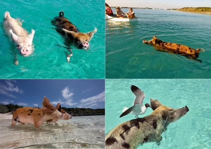 Вопоплавающие хрюшки на Big Major Cay