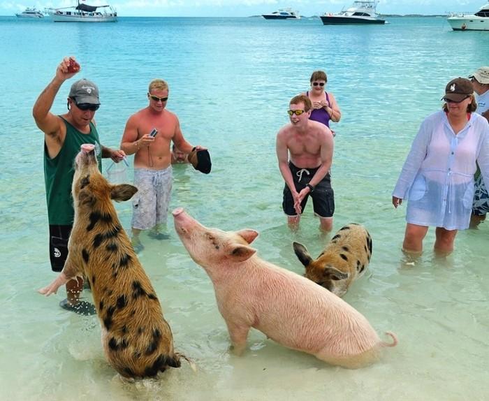 Курорт плавающий свиней на Багамах