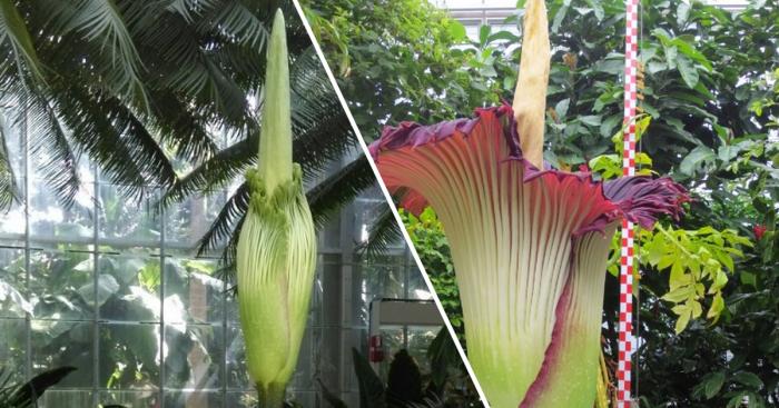 В Бельгии расцвел самый большой цветок на планете.