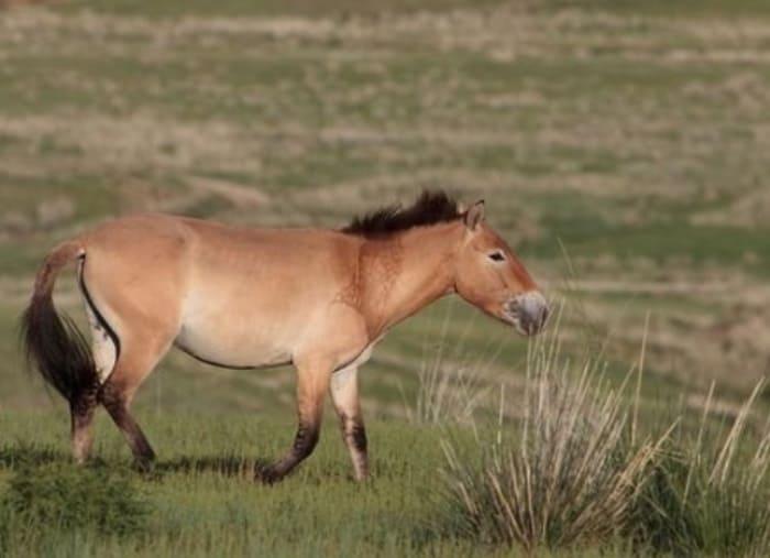 Лошадь Пржевальского | Фото: china-and-beyond.co.uk