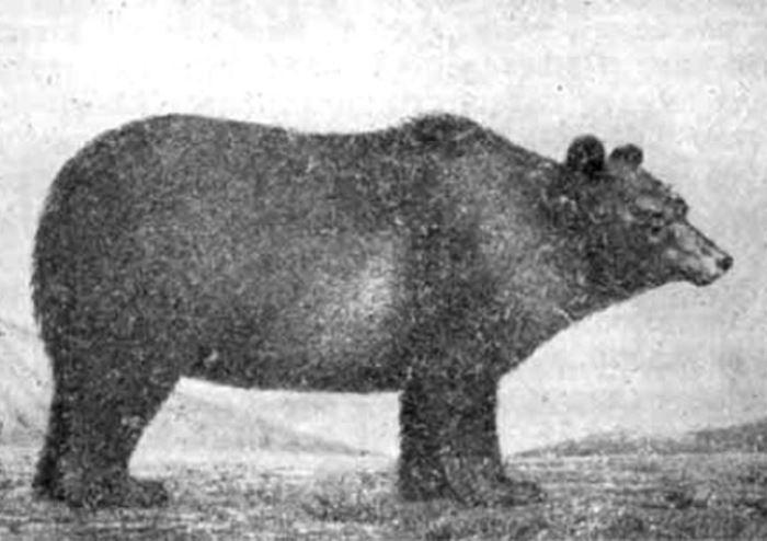 Тибетский медведь, открытый Пржевальским | Фото: smartnews.ru