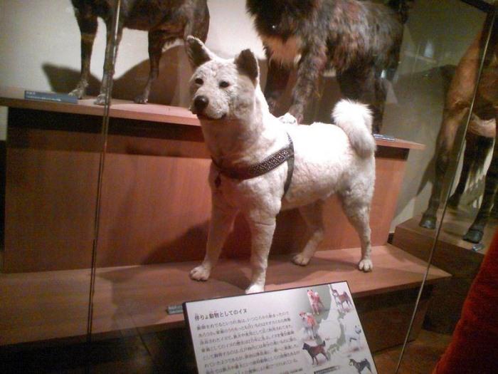 Хатико в Национальном музее природы и науки в Уэно