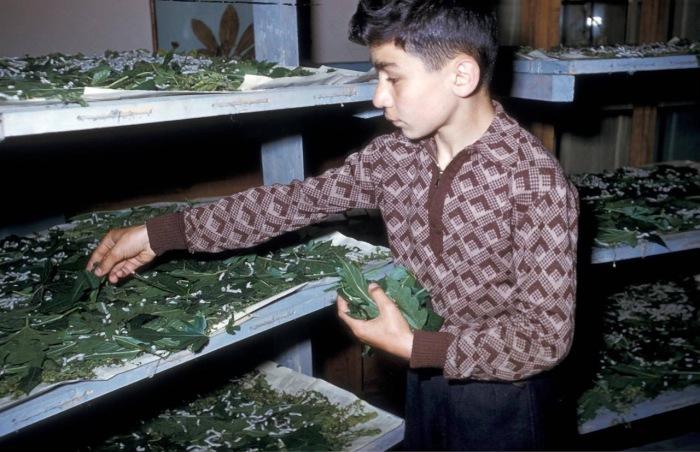 Мальчик перебирающий и готовящий тутовые листья к высушиванию. Тбилиси, 1964 год.