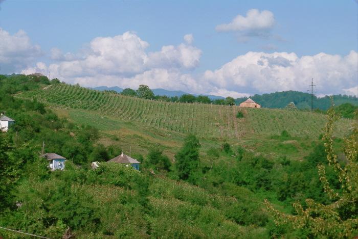 Частные виноградники в окрестностях Сочи.