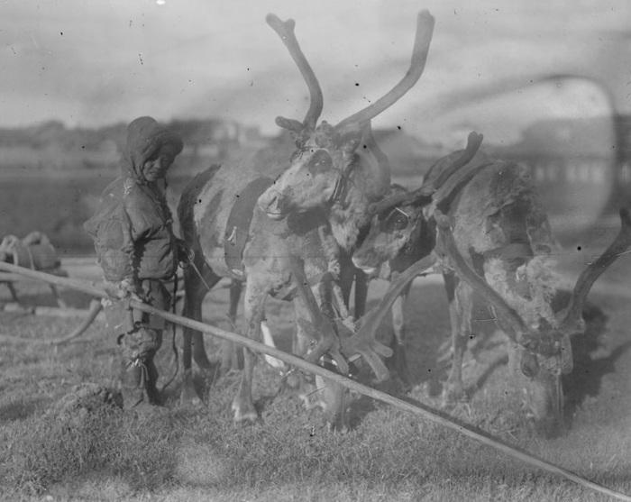 Мальчик пасущий оленей. Мезени, 1919 год.