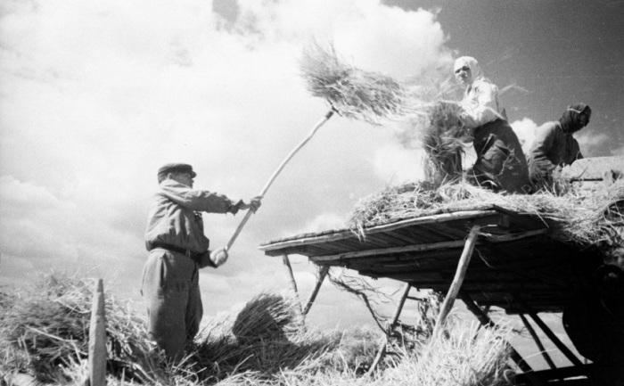 Заготовка сена. УССР, 1950-е годы.