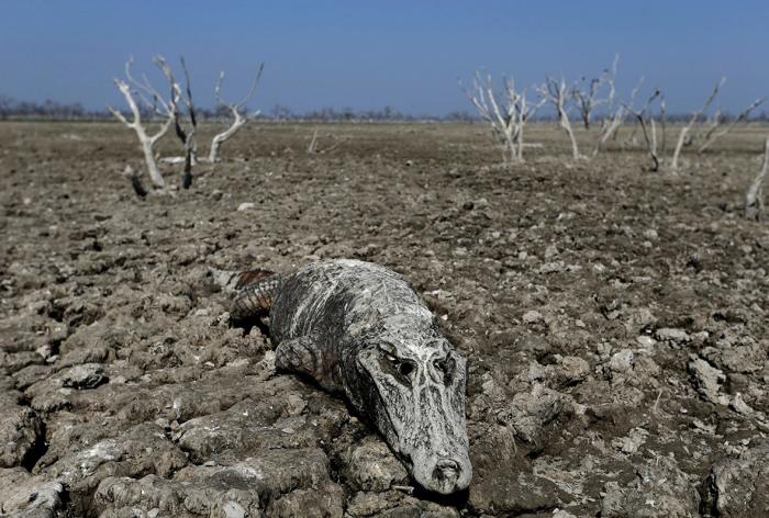 Мёртвый кайман в пересохшем русле реки Пилькомайо.