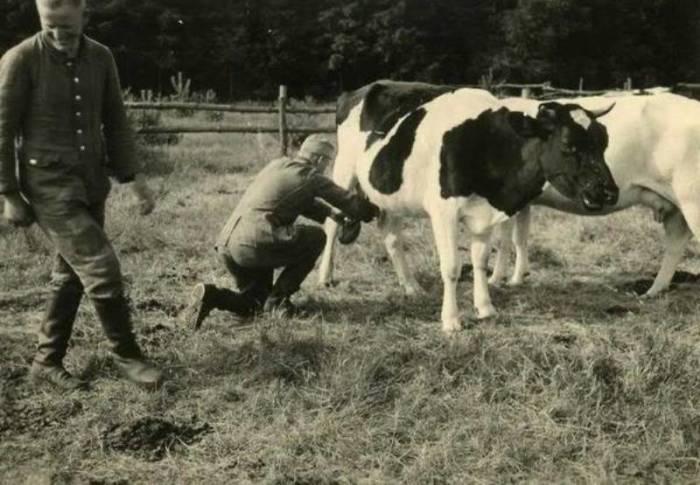 Немецкие солдаты доят корову в оккупированной деревне. СССР, Украина, 1942 год.