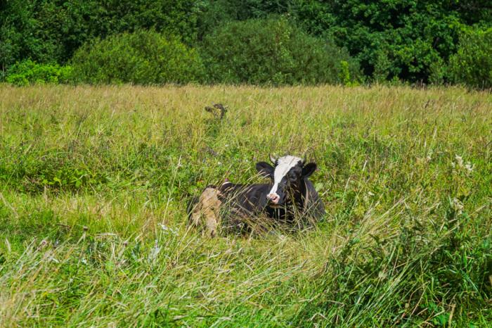 Отдыхающая неподалеку на поле вблизи церковного комплекса корова.