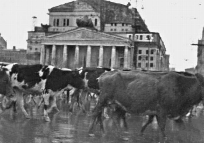 Массовая эвакуация скота через Москву в 1941 году.