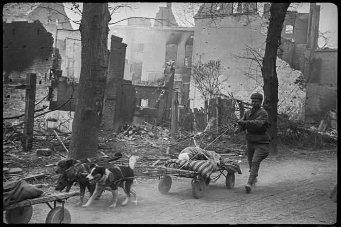 Эвакуация раненого на собаках с поля боя. Германия, район Зееловских высот, апрель, 1945 год.