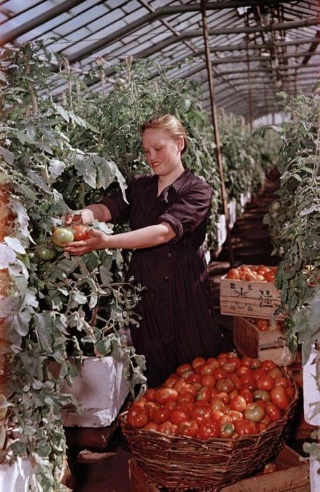 Сбор и сортировка урожая помидоров в подмосковном колхозе.