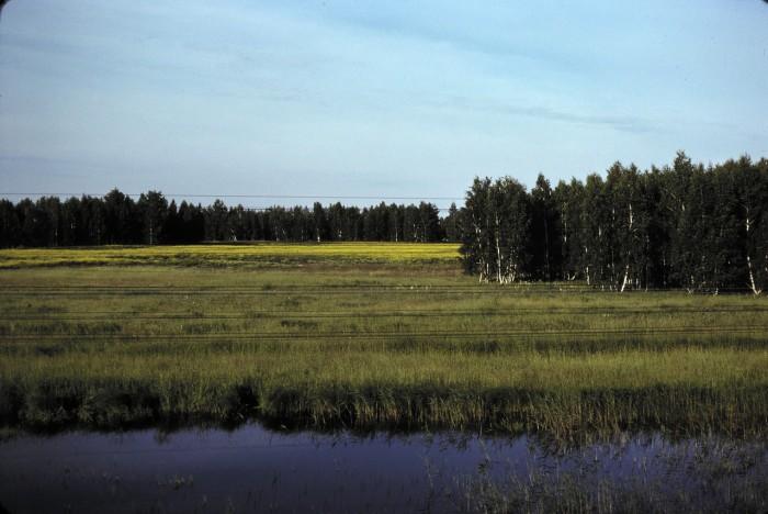 Березовый лес в окрестностях Омска. СССР, Омск, 1979 год.